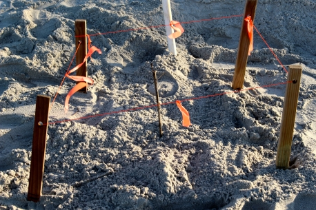 Without the tracks of the mother turtle to follow, I would not have guessed this was the nesting site.