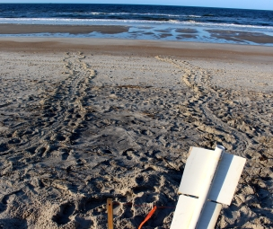 A view from the nest. Tracks on the left mark her return to the sea. The tracks stop at the point from which she emerged from the ocean.