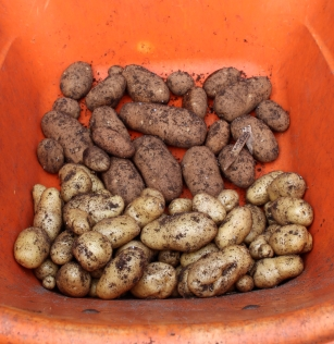 The other half of this year's potato crop. A new record for Wonder Spouse: 47 pounds total.