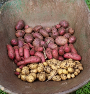 Half of this year's potato crop