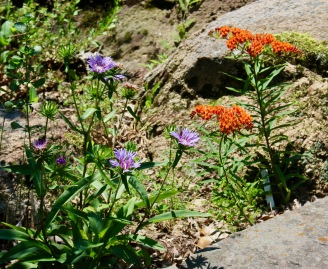 Stokes Aster (Stokesia laevis) and Butterfly Weed (Asclepias tuberosa) in the boulder garden