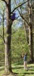 hanging trap on ashtree1
