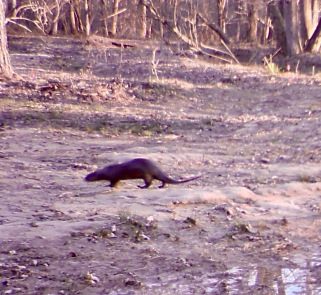 A river otter, likely an adventurous juvenile, briefly wandered onto our property on March 10.