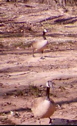 Canda geese 2:56 p.m. March 6