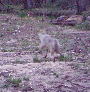 Yes, that's a coyote caught by the critter cam at 7:00 a.m. on April 2.