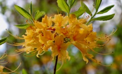 A Rhododendron australis cross