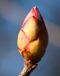 Deciduous azalea flower bud