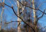 Franklinia buds