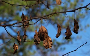 Seeds of Halesia diptera rattle in breezes