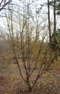 Cornelian cherry (Cornus mas) in full bloom about two weeks early.