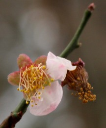 The last fading flower of the Prunus mume I call 'Pinkie.' She usually is only just starting to bloom about now.