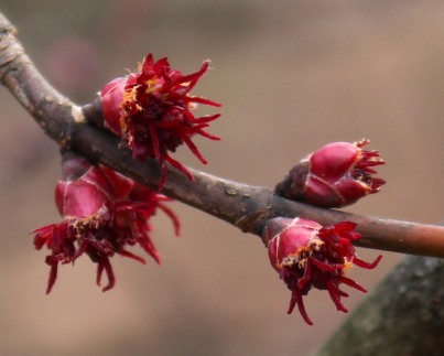"Red maples are already blooming throughout my yard, a few weeks earlier than ""normal."""