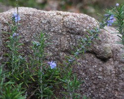 Rosemary blooms in the boulder garden.