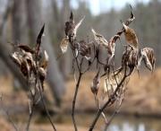 Remnants of last season's swamp milkweed blooms on the floodplain.
