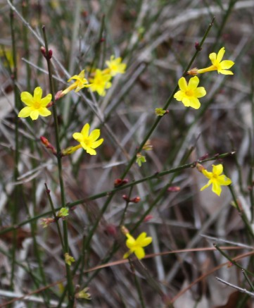 January jasmine (Jasminum nudiflorum)