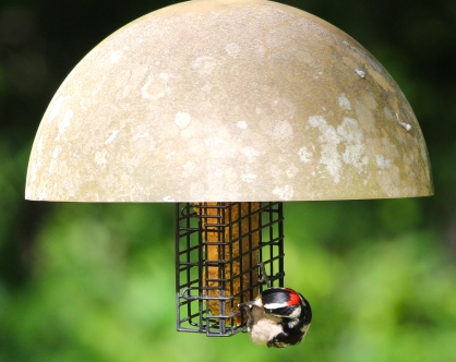 Downy Woodpecker parents are refueling at the suet feeder often these days as they labor to feed recently fledged offspring.