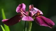 Nelson's Water Iris, Iris nelsonii