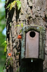 A concrete birdhouse hung years ago is about ten feet off the ground. The cross vine continues its climb beyond the reach of my camera.