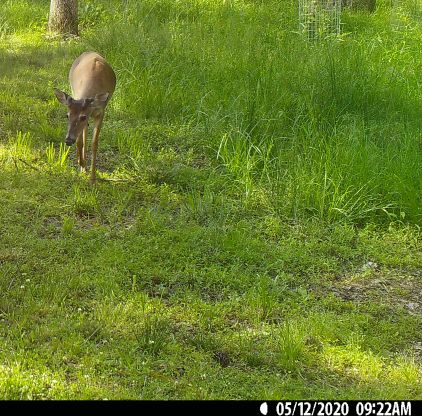 This bigger buck's antlers already clearly have multiple points.
