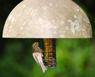 I had never observed a Chipping Sparrow on our suet until Wonder Spouse took this photo.