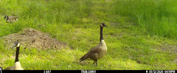Adult Canada geese survey the area for potential dangers.