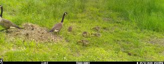 The goslings appear to need encouragement to leave.