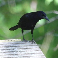 Common grackles visit during nesting season.