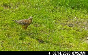 During its first visit to this spot on May 14, we didn't see the Red-shouldered Hawk with food.