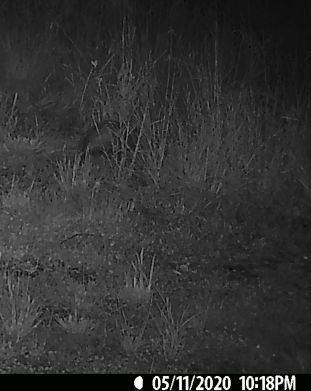 Disappearing quickly into the tall grass on the upper right.