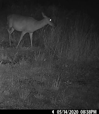 The pregnant does only showed up in nighttime shots this week.