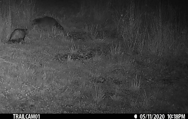 Before it exits into the high grass, the raccoon gives the possum a final glare.