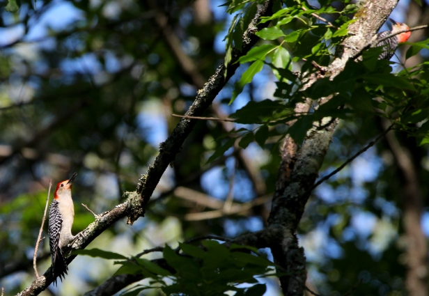 We think the fledgling Red-bellied Woodpecker is on the left begging to be fed by its parent on the upper right.