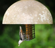 White-breasted Nuthatches are also feeding fledglings and appreciate our suet offerings.