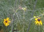 wet bronze fennel andRudbeckias