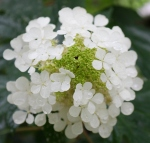 wet end of hydrangeainflorescence