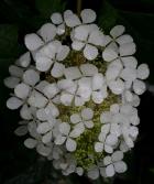 wet hydrangea inflorescence