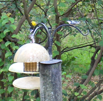 A pine warbler and a white-breasted nuthatch discuss who gets first access to the suet.