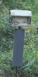rose-breasted grosbeak fallmigrant