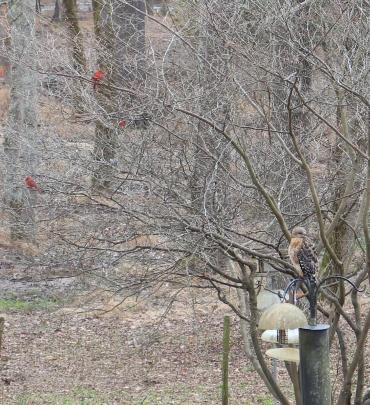 RS hawk on suet feeder