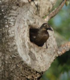 female duck1