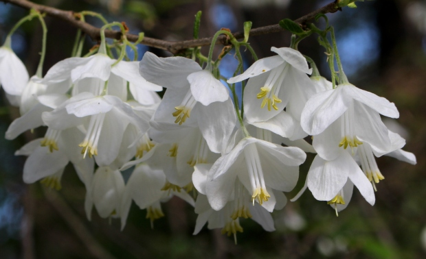 Halesia diptera flowers2