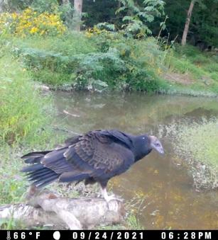 black vulture_9_24