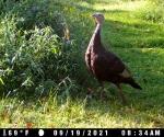 turkey hen_9_19